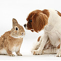 Cavalier King Charles Spaniel by Mark Taylor