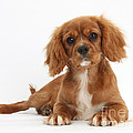 Cavalier King Charles Spaniel Puppy by Mark Taylor
