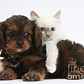 Cavapoo Pup And Blue-point Kitten by Mark Taylor