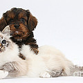 Cavapoo Pup And Tabby-point Birman Cat by Mark Taylor