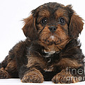 Cavapoo Pup by Mark Taylor