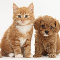 Cavapoo Puppy And Kitten by Mark Taylor