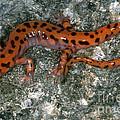 Cave Salamander by Dante Fenolio
