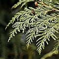 Cedar Due Droplets by LeeAnn McLaneGoetz McLaneGoetzStudioLLCcom