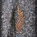 Cedar On Granite by Tim Allen