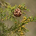 Cedar Rust Gall - Gymnosporangium Juniperi-virginianae by Kathy Clark