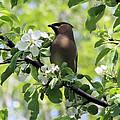 Cedar Waxwing Among Apple Blossoms by Doris Potter