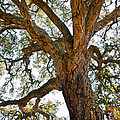 Centenarian Cork Tree by Carlos Caetano