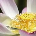 Center Of A Lotus by Sabrina L Ryan