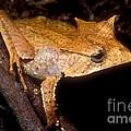 Central American Casque Headed Frog by Dante Fenolio