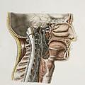 Cervical Spinal Nerves, 1844 Artwork by