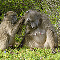Chacma Baboons Grooming by Peter Chadwick