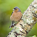Chaffinch by Duncan Shaw
