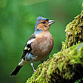 Chaffinch by Lynn Bolt