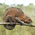 Chamaeleon Clings To A Branc by Photostock-israel