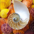 Chambered Nautilus  by Garry Gay