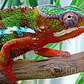 Chameleon Close Up by Nancy Mueller