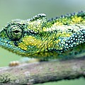 Chameleon In The Forests Of Mt Meru by Axiom Photographic
