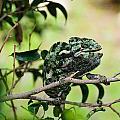 Chameleon by Michael Goyberg