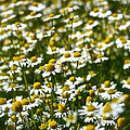 Chamomile Fields by Susan Herber