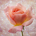 Champagne Rose. by Clare Bambers