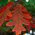Changing Oak by Susan Herber