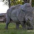 Charging Rhino. by Clare Bambers