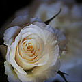 Charm White Rose