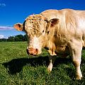 Charolais Bull, Ireland by The Irish Image Collection