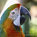 Chatty Macaw by Clare Bambers
