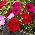 Chawton Petunias by KG Thienemann