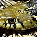 Checkered Garter Snakes Head by Jack Goldfarb