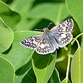 Checkered Skipper by Kathy Gibbons