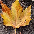 Cheerio Leaf by Holly Blunkall