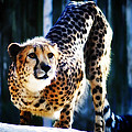 Cheeta by Bill Cannon
