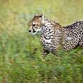 Cheetah Acinonyx Jubatus, Running by Carson Ganci