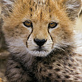 Cheetah Acinonyx Jubatus Ten To Twelve by Suzi Eszterhas