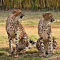 Cheetah Chat 1 by Carol  Bradley