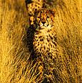 Cheetah Cubs by Alistair Lyne