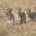 Cheetah Family by Mareko Marciniak