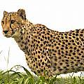 Cheetah Hunting by Fran Gallogly