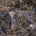 Cheetah Kitten by Sandra Bronstein