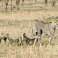 Cheetah Mother And Cubs by Gregory G Dimijian MD