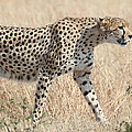 Cheetah Stepping Out by Carole-Anne Fooks