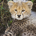 Cheetah Ten Week Old Cub Portrait by Suzi Eszterhas