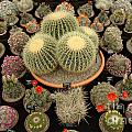 Chelsea Flower Show Cacti Display by Mike Nellums