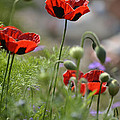 Chelsea Poppies II by Dickon Thompson