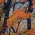 Cherohala Maple - D007676 by Daniel Dempster