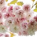 Cherry Blossom (cerasus Sp.) by Jon Stokes