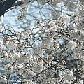 Cherry Blossom Festival  by Genevieve Keillor